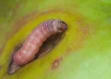 Caterpillar pest Codling moth crawls on a green apple. Fruit Royalty Free Stock Photo
