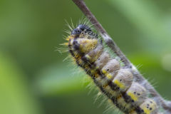 Caterpillar pestryanka- Zygaena lonicerae. Royalty Free Stock Photography
