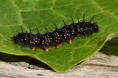 Caterpillar-Pfauschmetterling, Inachis io stockfotografie