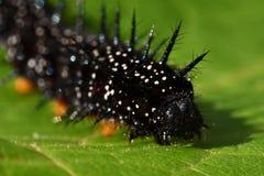 Caterpillar-Pfauschmetterling, Inachis io lizenzfreies stockbild