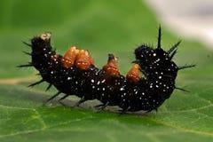 Caterpillar-Pfauschmetterling, Inachis io lizenzfreie stockbilder