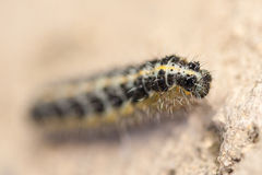 Caterpillar of Pieris brassicae. The large white, Pieris brassicae, also called cabbage butterfly, cabbage white, or in India the large cabbage white. White Stock Photography