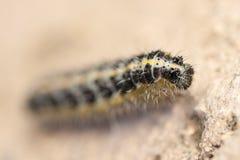 Caterpillar of Pieris brassicae Stock Photography