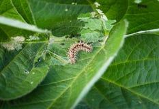 Caterpillar-Plagen auf Sojabohnenblättern stockfoto
