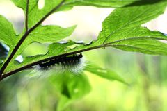 Caterpillar on plant eating leaf Royalty Free Stock Image
