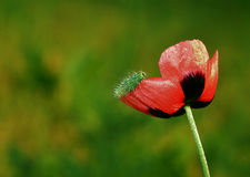 Caterpillar on a poppy flower Royalty Free Stock Photos