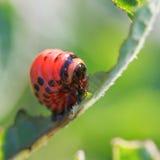 Caterpillar of potato beetle eats potatoes Royalty Free Stock Images