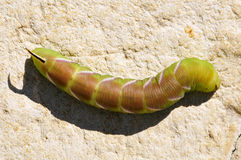 Caterpillar of Privet Hawk Moth butterfly Royalty Free Stock Photo