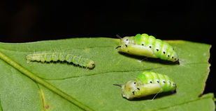 Caterpillar and pupa of Genusa  simplex moth Stock Image