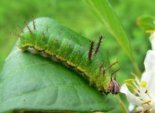 Caterpillar of Purple Stock Image