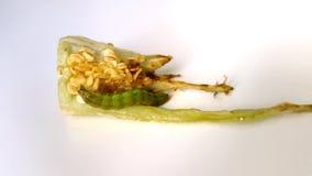 Caterpillar que anda em uma pimenta remenda no fundo branco video estoque