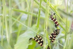 Caterpillar que come as folhas Imagem de Stock Royalty Free