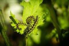 Caterpillar que come en una ortiga fotos de archivo libres de regalías