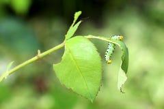 Caterpillar que come Rose Leaves foto de stock