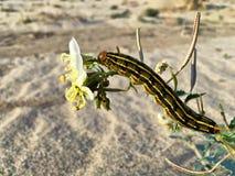 Caterpillar que come um wildflower do deserto Imagens de Stock Royalty Free