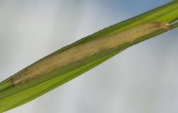 Caterpillar que esconde em alguma grama Fotografia de Stock
