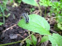 Caterpillar que rasteja em uma folha Foto de Stock