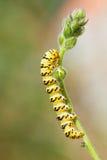 Caterpillar que se arrastra en la ramita verde Imagenes de archivo