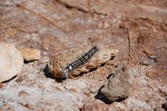 Caterpillar que se arrastra en piso del bosque imagenes de archivo