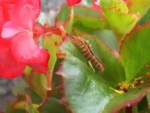 Caterpillar que vive en una begonia planta Imagen de archivo libre de regalías