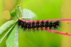 Caterpillar quiere comer la hoja imagen de archivo