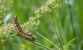 Caterpillar after the rain. Hairy caterpillar on grass after rain Stock Photography