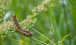 Caterpillar after the rain Stock Photography
