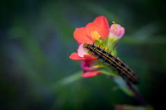 Caterpillar on red fireweed. Spring yellow and black caterpillar on red fireweed flower stock photo