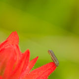 Caterpillar on a Red Flower Royalty Free Stock Images