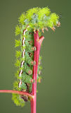 Caterpillar on red stem. A io moth caterpillar is crawling on a red stem Stock Image