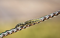Caterpillar on rope Stock Photo