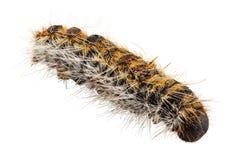 Caterpillar sörjer den Processionary artThaumetopoea pityocampaen Royaltyfri Fotografi