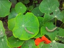 Caterpillar s essen Kapuzinerkäseblätter Lizenzfreie Stockbilder