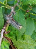 the caterpillar, shaggy, weighs, Royalty Free Stock Photo