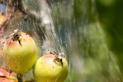 Caterpillar silk tent formed around young crab apples Stock Images