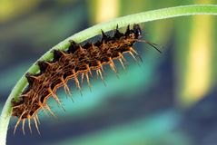 Caterpillar of the Silverwashed Fritillary Stock Images