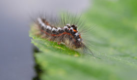 Caterpillar simile a pelliccia su una foglia Immagine Stock Libera da Diritti