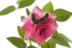 Caterpillar sitting on a flower Stock Photography