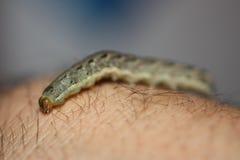 Caterpillar. Small green catterpillar on an arm Stock Image