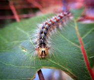 Caterpillar. On a small leaf Stock Images