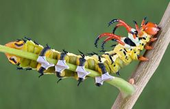 Caterpillar in sneakers. A hickory horned-devil caterpillar is crawling on a branch wearing sneakers Stock Photography