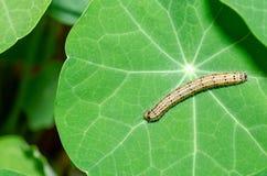 Caterpillar sobre una col Caterpillar/Ascia Monuste de la hoja fotografía de archivo libre de regalías