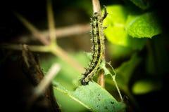 Caterpillar som äter på en nässla Royaltyfri Bild