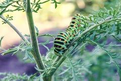 Caterpillar som kryper p? en tunn gr?splan, fattar royaltyfri bild