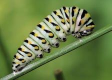 Caterpillar som rotera en kokong Arkivbild