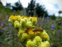 Caterpillar a souillé avec le nectar Photo stock