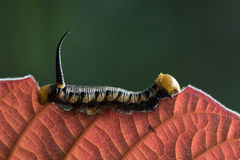 Caterpillar in Southeast Asia. Stock Image