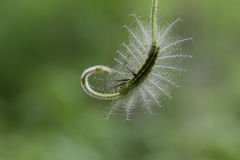 Caterpillar in Southeast Asia. Royalty Free Stock Images