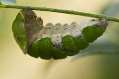 Caterpillar start to make cocoon Royalty Free Stock Photography