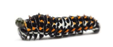 Caterpillar stary świat Swallowtail, Papilio machaon obrazy stock